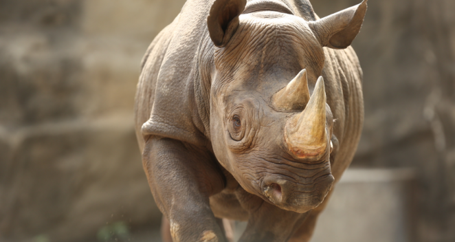 Kapuki, a 13-year-old female eastern black rhinoceros at the Lincoln Park Zoo, is pregnant